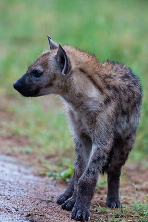 Hyena in the wild photo