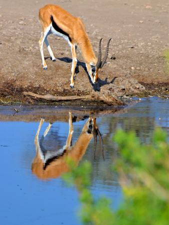 impala in tanzania national park photo