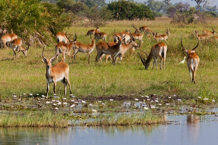 impala in tanzania national park