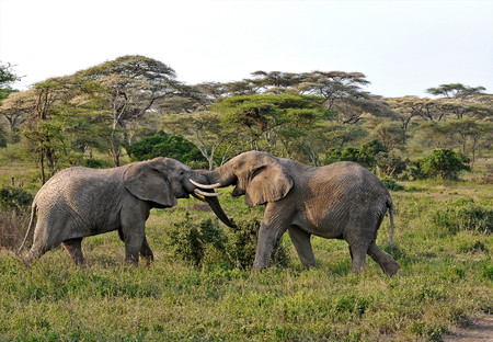 Two Elephants Playing photo