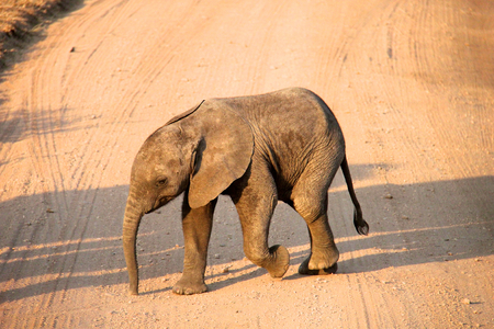 elephant in Tanzania national park photo