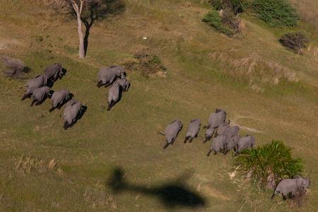 Okavango Delta: elephant, tusk and herd