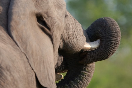 chiefs families: elephant, tusk and herd