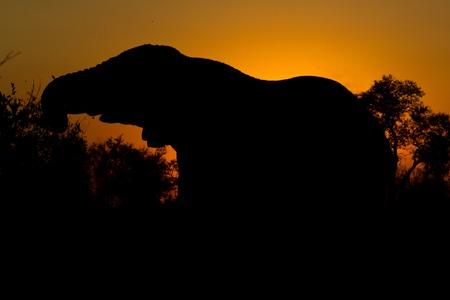 elephant, tusk and herd photo