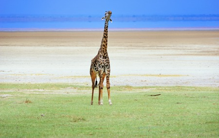 giraffe in Tanzania national park photo