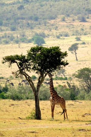 Giraffe in the wild Imagens