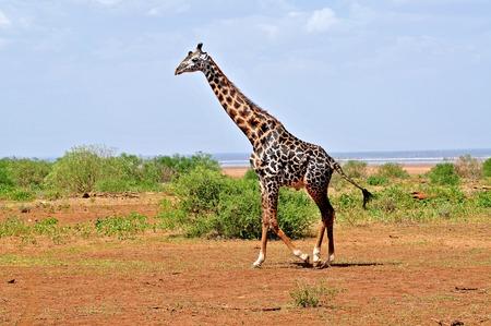 Giraffe in the wild photo