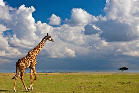 game reserve: Giraffe in the wild Stock Photo