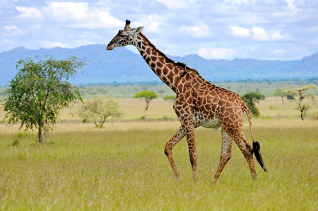 タンザニアの国立公園のキリン