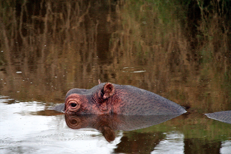 hippo in the national park of Tanzania photo