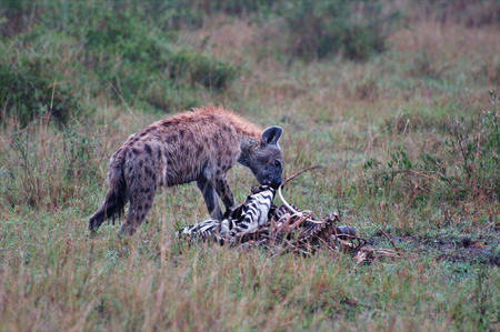 hyena in Tanzania national park photo