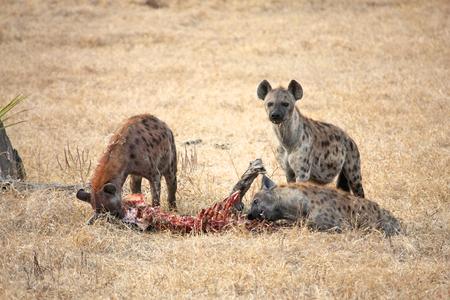 hyena in Tanzania national park photo