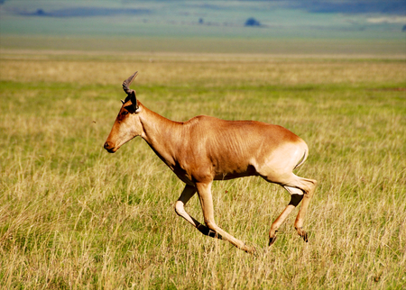 Cokes Hartebeest photo