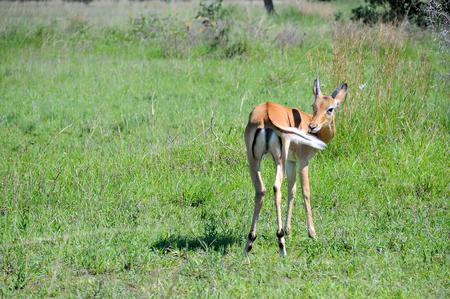 bobby: impala in Tanzania national park Stock Photo