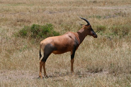 tanzania antelope: impala in Tanzania national park Stock Photo