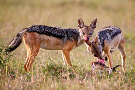 jackal in Tanzania national park photo