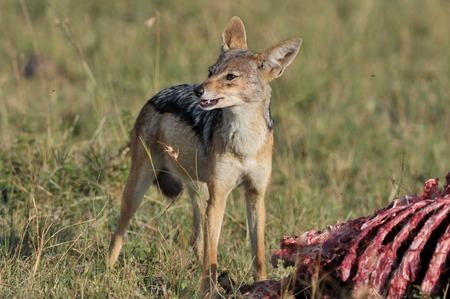 jackal feeding photo