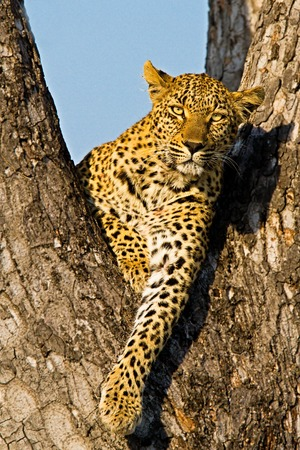 game reserve: leopard on the tree in Tanzania national park