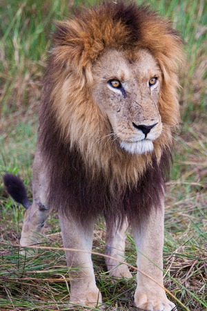 lion in Tanzania photo
