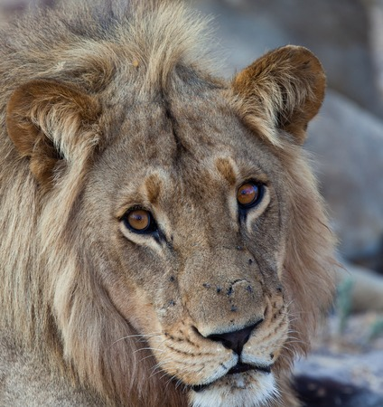sexual activity: lions of Tanzania