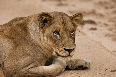 lion of Tanzania photo