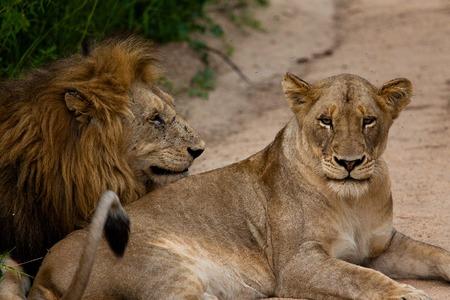 sexual activity: lion of Tanzania