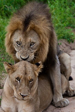sexual activity: lion in Tanzania National Park