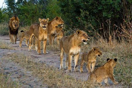 Löwen in Tansania National Park