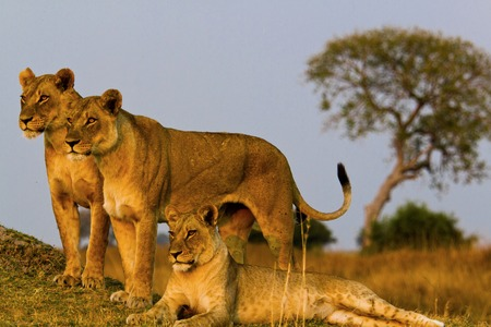 ion: lion in Tanzania National Park
