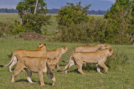 ライオン タンザニア国立公園
