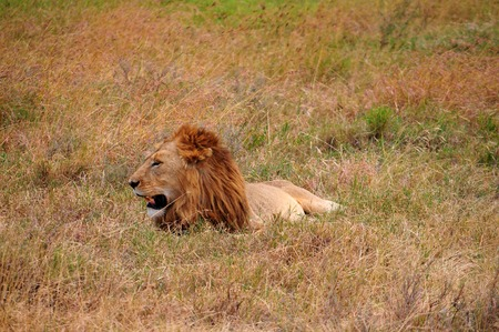 pet photography: lion in Tanzania National Park