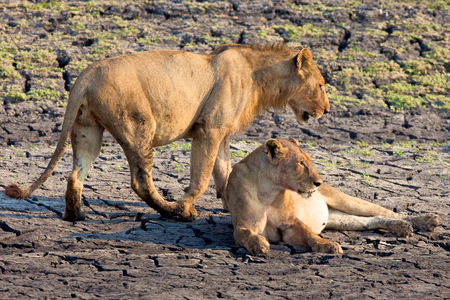 lion in Tanzania National Park