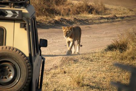 pet photography: portrait of two lions resting