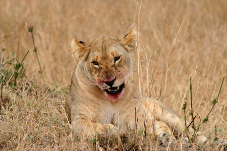 lion in Tanzania National Park photo