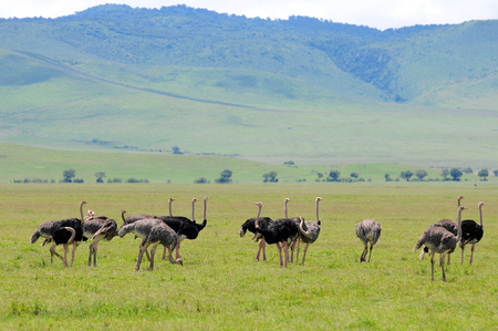 ostrich of Tanzania photo