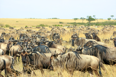 wildbeest migration in Tanzania photo