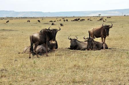 wildbeest migration photo