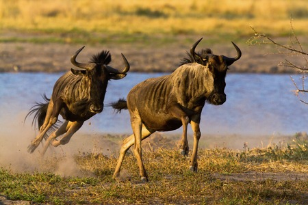 taurinus: wildbeest migration Stock Photo