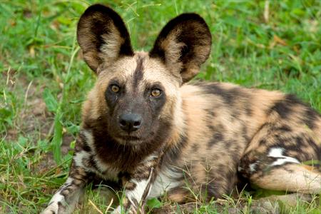 pet photography: wild dogs of Tanzania National park