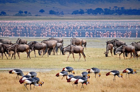 wildbeest migration Stock Photo