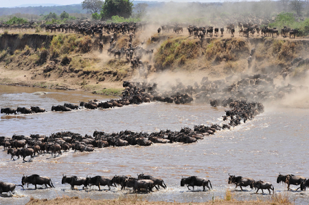 wildebeest of tanzania photo