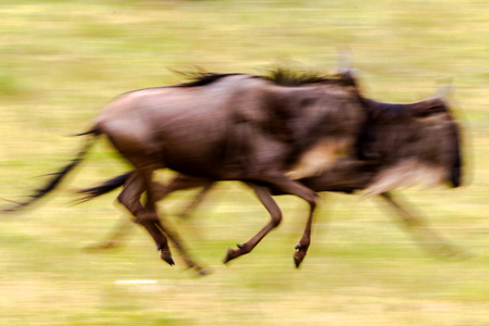 wildebeest: wildebeest of tanzania