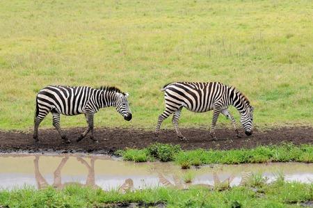 zebra of tanzania photo