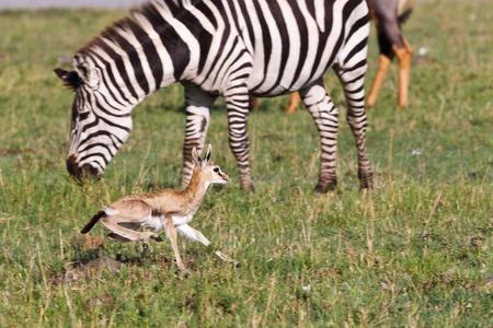 zebra in the wild  photo