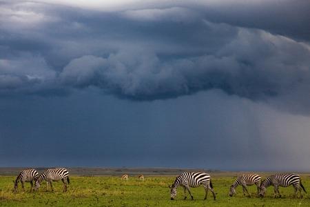 game reserve: zebra in the wild  Stock Photo
