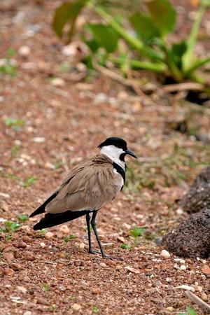 ngamba: aves de tanzania Foto de archivo
