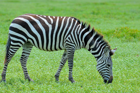 burchell: zebra in national park of Tanzania