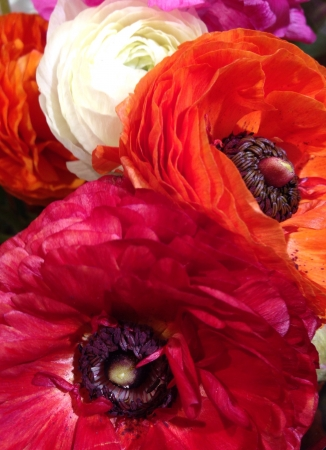 ranunculus: Ranunculus Flowers Stock Photo