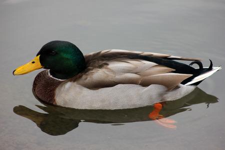 golde: Golde yuzen yesil basli ordek ve turuncu ayaklari ile renk uyumu Stock Photo