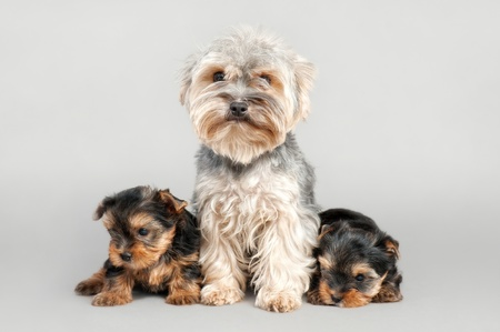 cynology: Yorkshire terrier puppies with their mom, on gray background
